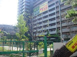 新たに植樹したサクラ